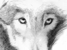 Wolf kl